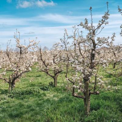 Dutch Outdoors Fruitbomen